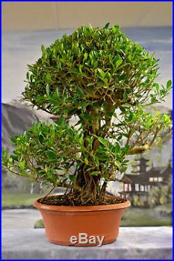 Huge FICUS TIGER BARK Pre-Bonsai Tree from China. Grow Indoors. Easy to Grow