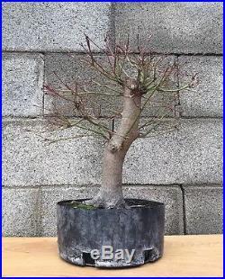 Huge Japanese Green Maple Bonsai Tree Big Thick Trunk Nebari Specimen