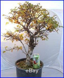 Huge Old Cork Bark Elm for shohin mame bonsai tree thick trunk