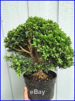 Huge Old Morris Dwarf Boxwood Pre Bonsai Tree Killer Stock