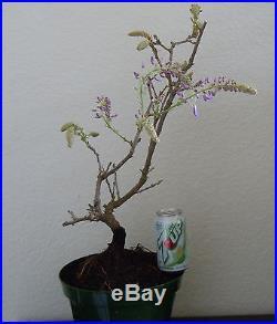 Huge Purple flowering Japanese wisteria for unique shohin mame bonsai tree