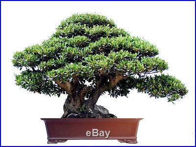 INDOOR BONSAI TREE SEEDS