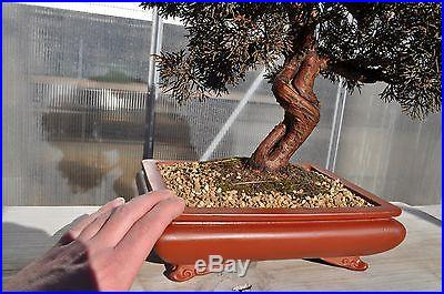 ITOIGAWA SARGENT Juniper specimen bonsai