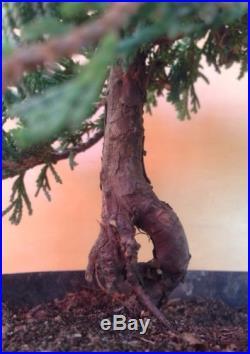 Icee Blue Juniper Pre Bonsai Tree Evergreen Shohin