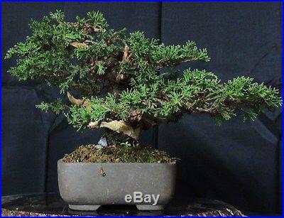 Imported Itoigawa Juniper Bonsai