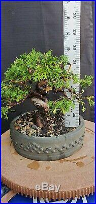 Imported Itoigawa Juniper Bonsai Tree