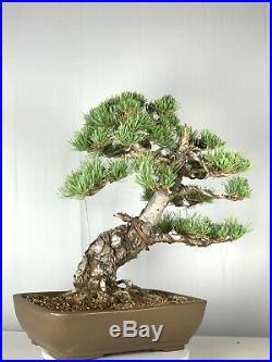Imported Japanese White Pine Bonsai Tree
