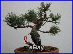 Imported Shohin White Pine Bonsai