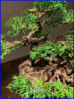 Imported Twisted Trunk Itoigawa Shimpaku Juniper In Japanese Pot