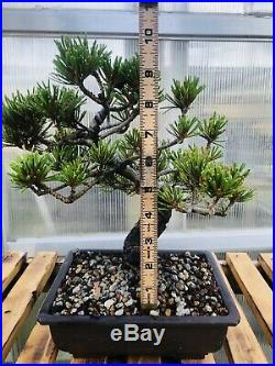 Imported japanese white pine bonsai