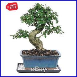 Indoor Decorative Bonsai Plant Fukien Tea Tree Potted Plant 12 Yr. Old Succulent