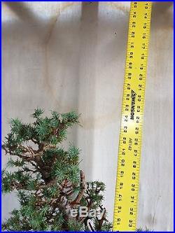Italian Stone Pine Bonsai