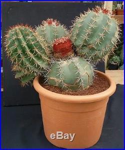 J517 MELOCACTUS SALVADORIENSIS H25 Ø38 cactus ariocarpus