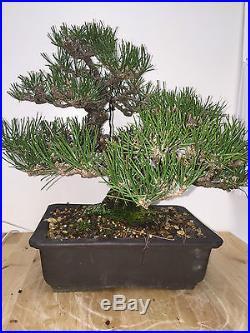 JAPANESE BLACK PINE SHOW WINNER GREAT MOVEMENT BONSAI A+ TREE