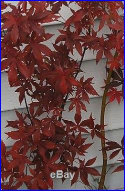 JAPANESE RED MAPLE 2 FT TALL ORNAMENTAL SHADE TREEBONSAI