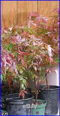 JOHNNY PINK JAPANESE MAPLE 2-3 FT BONSAI LANDSCAPE BUY ONE GET ONE FREE
