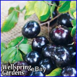 Jaboticaba Myrciaria cauliflora Live Plant Fruit Brazilian Grape Tree Bonsai
