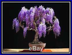 Jacaranda mimosifolia 30 Bonsai seeds Tree