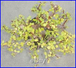 Jade Pre Bonsai Dwarf Big Fat Sumo Trunk Nice Nebari Portulacaria Afra Flowers