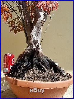 Japanese Acer Palmatum Maple Bonsai Tree, SALE
