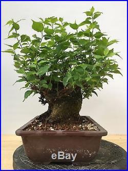 Japanese Apricot Flower Plum Bonsai