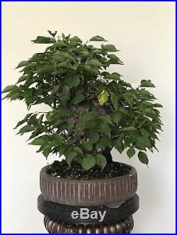 Japanese Apricot Mume Yabai Bonsai
