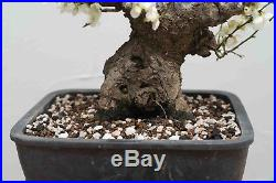 Japanese Apricot Prunus Mume Bonsai Tree White Flower 50 Yrs