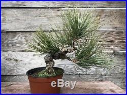 Japanese Black Pine Bonsai
