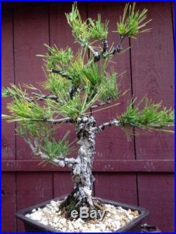Japanese Black Pine Bonsai Cork Bark