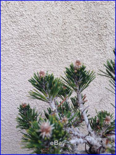 Japanese Black Pine Bonsai Kotobuki Rare Specimen