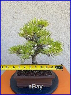 Japanese Black Pine Bonsai Mini Evergreen Thick Trunk RARE