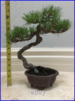 Japanese Black Pine Bonsai Shohin