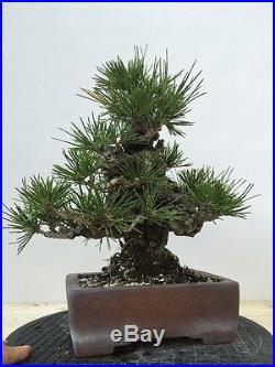 Japanese Black Pine Bonsai Shohin Nishiki
