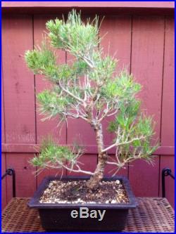 Japanese Black Pine Bonsai Specimen