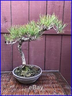 Japanese Black Pine Bonsai Specimen Pinus thunbergiana