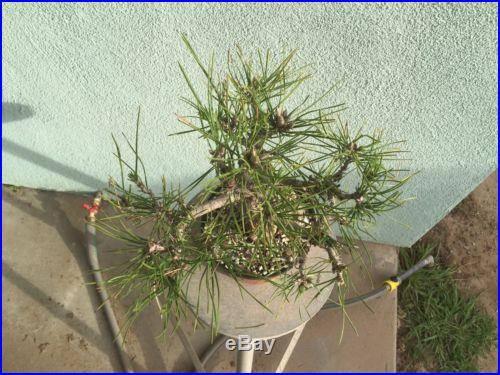 Japanese Black Pine Bonsai Stock(4pn1129st)larger Pine