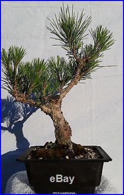 Japanese Black Pine Bonsai Tree