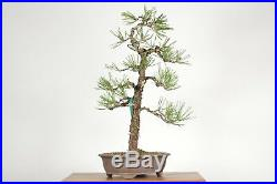 Japanese Black Pine Bonsai Tree 1724