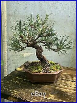 Japanese Black Pine Bonsai Tree #2