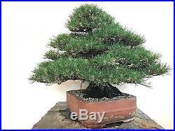 Japanese Black Pine Bonsai Tree Pinus thunbergii