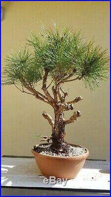 Japanese Black Pine Bonsai Tree, Sale