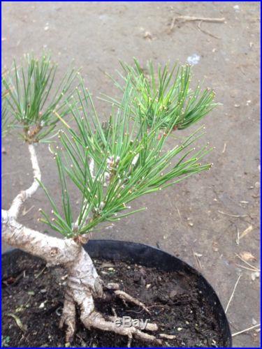 Japanese Black Pine Cascade Pre Bonsai