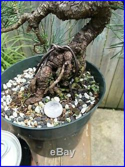 Japanese Black Pine Exposed Root Flakey Bark Shohin Pre-Bonsai Pinus