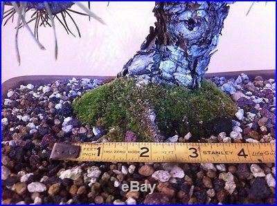 Japanese Black Pine Pine Bonsai Shohin Bonsai Specimen Bonsai