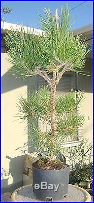 Japanese Black Pine Pre Bonsai Dwarf Shohin Big Fat Trunk