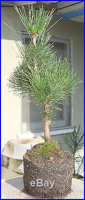 Japanese Black Pine Pre Bonsai Shohin Dwarf Big Fat Trunk