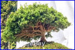 Japanese Bonsai Kingsville Dwarf Boxwood Tree Boxus Micro Philla FREE SHIPPING