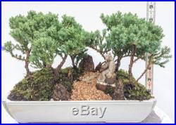 Japanese Bonsai Tree Juniper Dwarf Juniper Woods