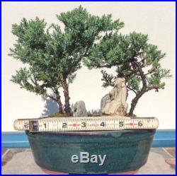 Japanese Bonsai Tree Juniper Dwarf Peaceful Forest
