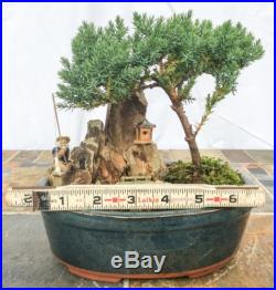 Japanese Bonsai Tree Juniper Dwarf The Fisherman